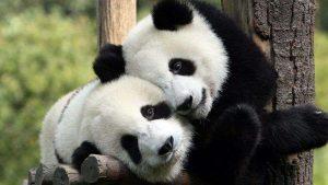 El mejor empleo del mundo: cuidador de pandas bebés